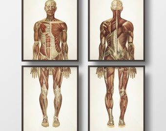 Human Anatomy MUSCLE System Wall Art Set - Fine art prints of a vintage medical anatomical illustrations