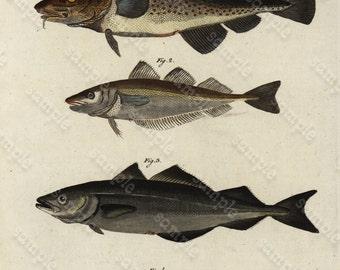 Original Antique Natural History Hand Colored Engraving - Fish - Aquatic life