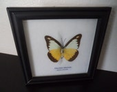 Taxidermy Real Butterfly Display Chocolate Albatross Picture Frame Lepidopterology Entomology Zoology Collectable