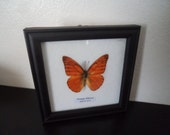Taxidermy Real Butterfly Display Orange Albatross Picture Frame Lepidopterology Entomology Zoology Collectable