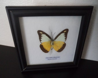 Real Butterfly Display Chocolate Albatross Taxidermy Lepidoptera Entomology Zoology Collectable