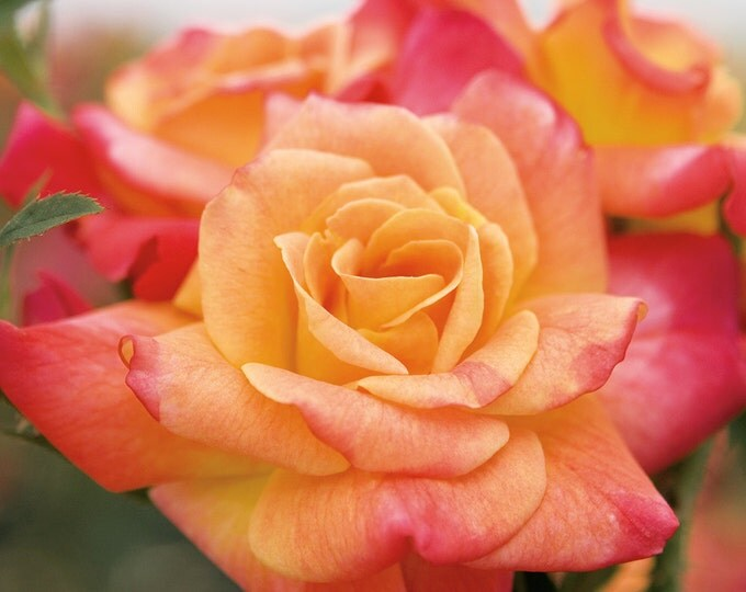 Joseph's Coat Rose Bush Fragrant Climbing Rose Grown Organic Potted - Own Root Rose Plant Non-GMO - Spring Shipping