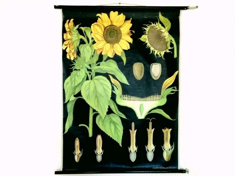 Vintage Sunflower Wall Decor : Sunflower wall decoration german vintage pull down chart