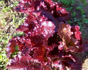 MERLOT Lettuce SEEDS ~ rare dark purple leaf lettuce 50+ seeds
