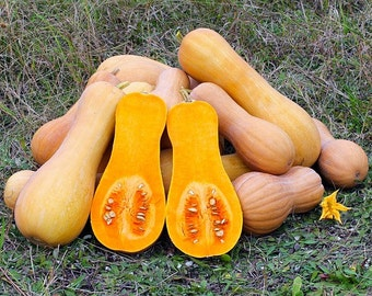 Heirloom BUTTERNUT SQUASH Winter 'Waltham Butternut Squash' 25+ Seeds