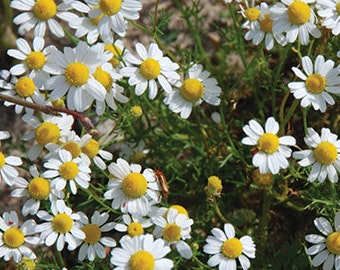 Camomile seeds,87,non gmo camomile seeds,greek camomile seeds,camomile tea,gardening,camomile herb