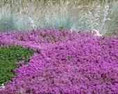 500 - Bulk Creeping Thyme Seeds - Mother of Thyme - Heirloom Groundcover Seeds, Heirloom Thyme Seeds, Non-GMO Flower Seed, Bulk Flower Seedd
