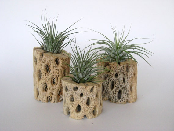 Air plants in rustic cholla wood set of three by williamsgrove for Wooden cactus planter