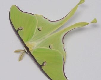 The BEST spring brood LUNA moth unmounted saturnid moth specimens  Actias luna moon moth