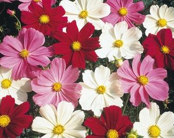 Cosmos Seeds - SENSATION MIX - Easy Annual - Cottage Garden Flower - 25 Seeds