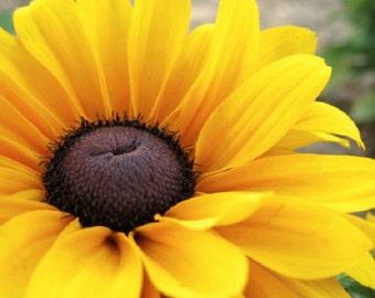 30+ Rudbeckia Becky Flower Seeds