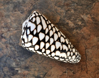 """Marbled Cone Seashell (3-3.5"""") - Conus Marmoreus"""