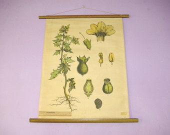 Hyoscyamus Niger, Botanical Chart, Science Chart, Botanology Print, School Chart, Pull Down Chart, Science Print, German Chart, Wall Decor