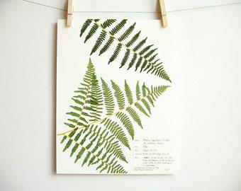 Favori Western Sword Fern imprimer 62 fougère herbier spécimen HK78