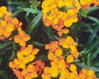 Wallflower- Siberian- 250 Seeds