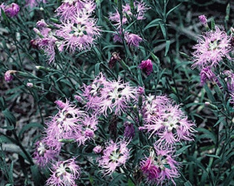 Fringed Pinks- Dianthus- 100 Seeds