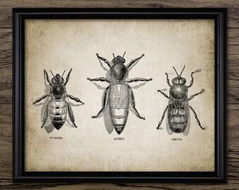Honey Bee Print - Queen Bee - Worker - Drone - Beehive - Bee Keeping Illustration - Printable Art - Single Print #306 - INSTANT DOWNLOAD