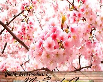 Japanese SAKURA FLOWERING CHERRY Tree Seed - Prunus serrulata Seeds - Cherry Blossom - Zones 5 - 8