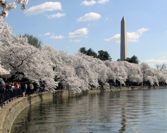 Cherry Blossoms, Washington DC - a set of 10 5x7 notecards (blank note card set / greeting card set)