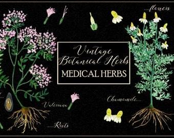 Vintage botanical herbs. Medical herbs. Watercolor Clipart peinte à la main. Aquarelle. Floral plants: plantaine nettle valeriana chamomile