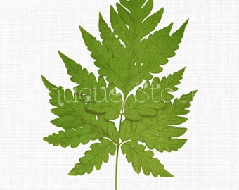 Leaf Digital Image Clipart 'Snail Fern' Instant Download Art for Wedding Invitations, Wall Art Prints, Collages, Decor, Decoupage...