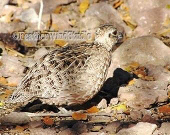 Female Montezuma Quail Wild Bird Photography Texas New Mexico Game Bird Cyrtonyx montezumae Southwest Desert Wild Life Mexican Quail Print