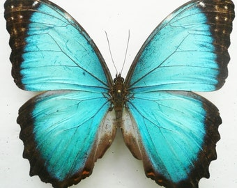 Real Morpho Granadensis Polybaptus - Mounted Specimens - Taxidermy - Collectibles