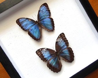 Real Morpho Helenor Peleides Pair - Framed - Taxidermy - Collectibles