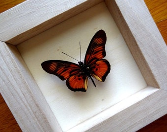 Real Pseudacraea clarki Framed - Taxidermy - Home Decoration - Collectibles