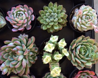 Small Succulent Plant You Choose 6