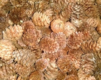 Mini Pine Cones, 200 + Maine Spruce Cones, Pine Cones, Wedding, Christmas, Fall Decor, Woodland, Cabin Rustic, Crafting, Free Shipping