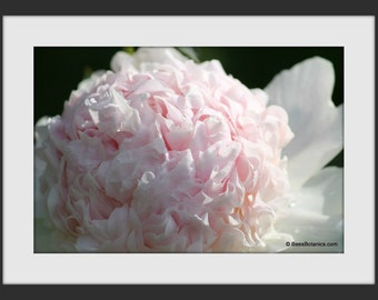 Pale Pink Peony Digital Download