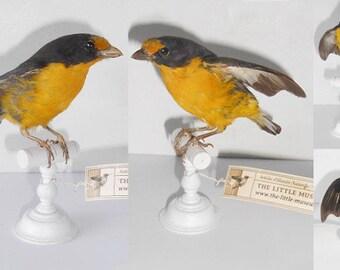 Euphonia circa 1880 - Taxidermy bird