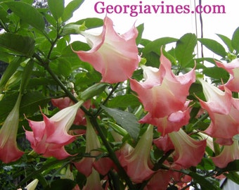 Brugmansia sauvoelens Frosty Pink Pint