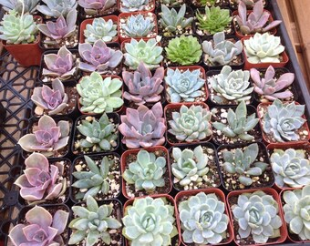 Succulent plants, 180 2 inch succulents. These are perfect for weddings, showers or gifts.