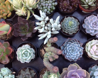 Succulent plant listing, 15 gorgeous succulents for weddings, parties or container gardens. Make beautiful favors for any occasion.