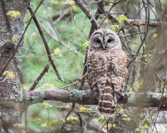 Barred Owl III