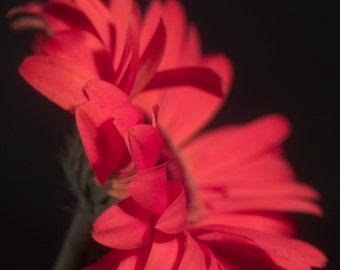 """CLEARANCE - 4x6 Matted Photograph Print """"Black and Red"""" - Flower Photography - Wall Art"""