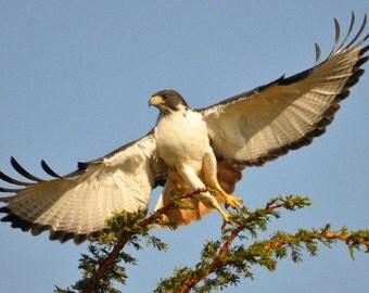 Birds of Prey Digital Downloadable V1