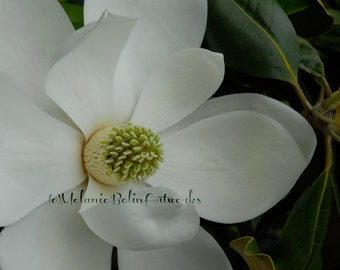 Magnolia Bloom, Photography. Flower, Floral