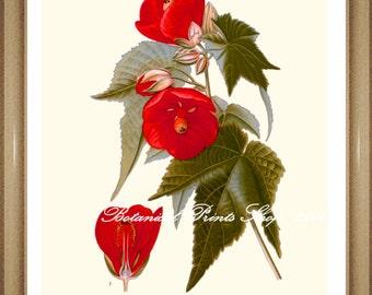 "Botanical Print. Abutilon.  Red Flower Print.  5x7"" 8x10"" 11x14"""