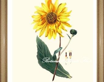 "Botanical Print. Sunflower. Yellow Flower Print. Floral Art,  8x10"""