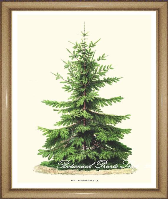 Christmas Tree Nordmann Fir: Christmas Tree Print. Nordmann Fir. 5x7 8x10