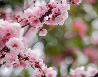 Instant Digital Download Fine Art Nature Photography - Pink Blossom and Bokeh