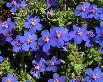 Blue Pimpernel Anagallis Flower Seeds / Monelli / Annual  60+