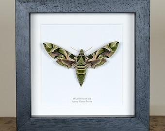 Army Green Moth in Box Frame (Daphnis nerii)