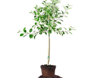 GOLDEN DELICIOUS APPLE tree Size: 5-6 ft