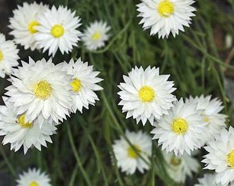Paper Daisy Seeds, Helipterum Seeds, Everlasting Daisy Seeds