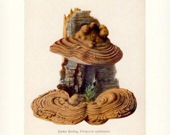 Artist's Bracket, Artist's Conk or Bear Bread