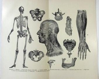 Original 1890's Print - Anatomy. Oddity Antique